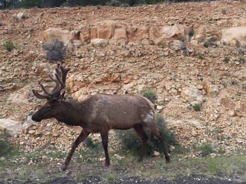 グランドキャニオンの野生の鹿