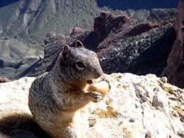 グランドキャニオンで出会う小動物